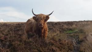 Highland cattle grazing in Exmoor