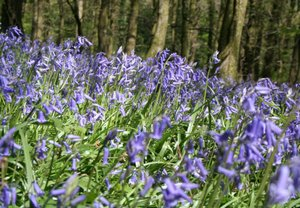 Ashburton Bluebell Woodland on The Dartmoor Way Dartmoor National Park
