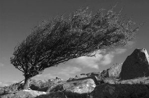 Wind blown tree on Exmoor part of The Coleridge Way