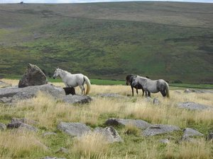 Dartmoor Ponies 2 Moors Way Walk coast to coast in Devon UK